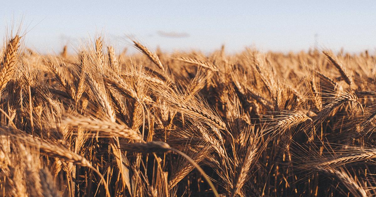 A Field of Grain for making Ethanol Biofuel